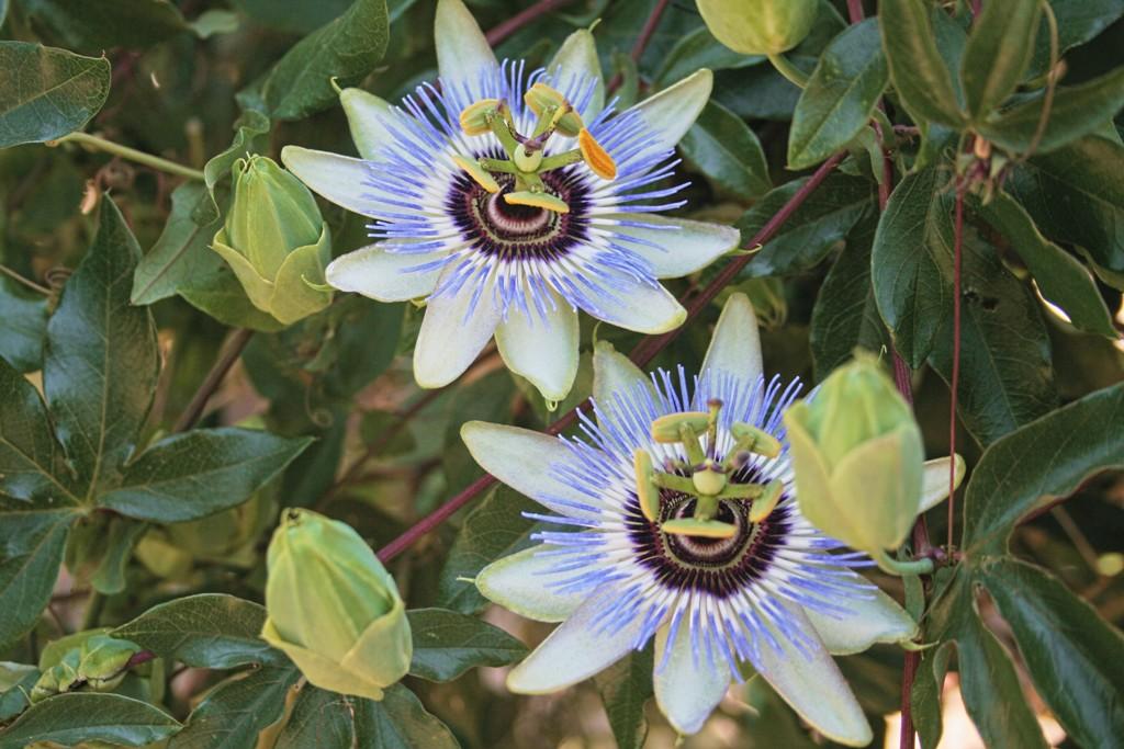 fiore passione